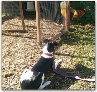 Affinity Dog Training Tilly Chickens